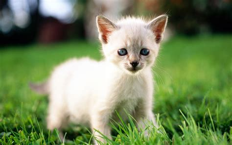 how are cats white cats are beautiful 30 photos