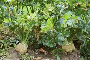 Blumenkohl Pflanzen Abstand : steckbrief sellerie ~ Whattoseeinmadrid.com Haus und Dekorationen
