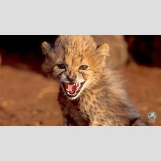 Uae To Ban The Ownership Of 'exotic Dangerous Animals'  Ifaw  International Fund For Animal