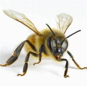 Wie Machen Bienen Honig : insekten den honigbienen droht ein schwieriges jahr welt ~ Whattoseeinmadrid.com Haus und Dekorationen