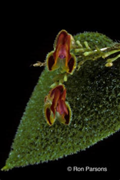 lepanthes species orchid photographs