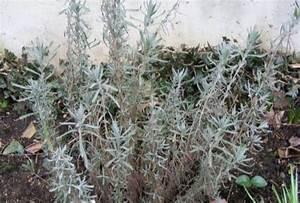 Lavendel Im Topf überwintern : lavendel berwintern pflanzen f r nassen boden ~ Frokenaadalensverden.com Haus und Dekorationen