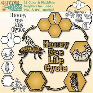 Honey Bee Life Cycle Clip Art  Insect And Bug Graphics