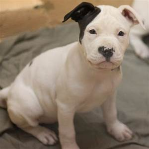 Training Of American Pit Bull Terrier Puppies - Dog Breeds ...