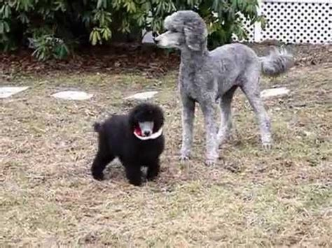 comet  silver poodle puppy youtube