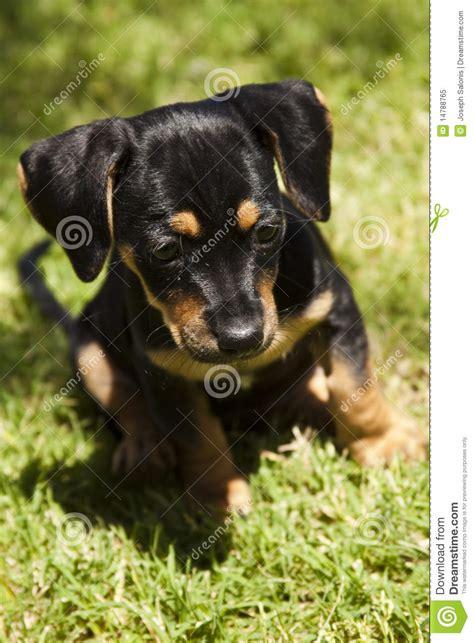 cute black  tan puppy  flopp ears royalty