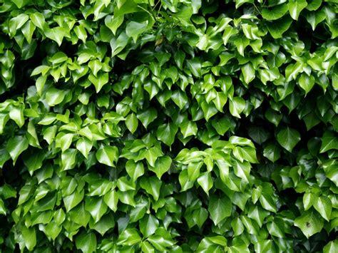 shrub image free images nature texture flower herb climber garden background image leaves shrub