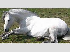 Home Connemara Ponies in Great Britain
