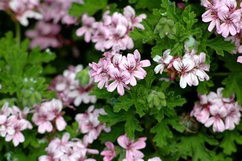 aide de cuisine emploi hydrolat de géranium pelargonium graveolens les