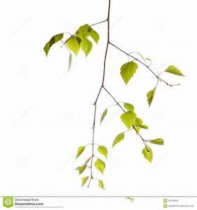 Branche De Bouleau : branche de bouleau photo stock image 54978606 ~ Melissatoandfro.com Idées de Décoration