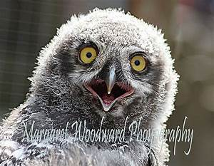 Baby Snowy Owl | Flickr - Photo Sharing!