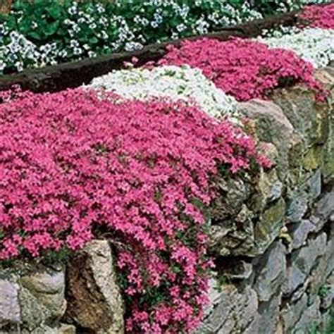 best plants for poor soil mixed carpet phlox perennial grows anywhere even in poor dry sandy soil where other ground