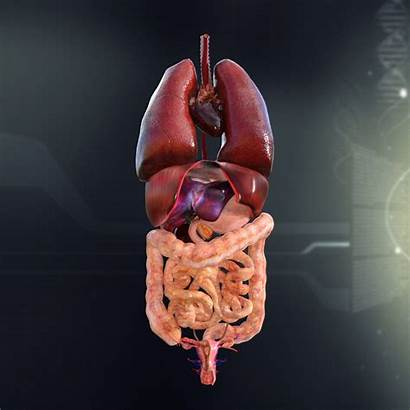 Organs Anatomy Internal Human 3d Female System