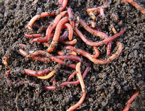worms soil super wiggler rocks makers whitewidow