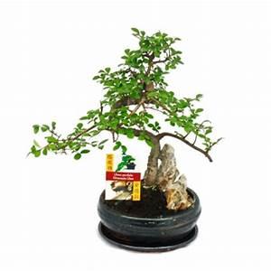 Bonsai Chinesische Ulme : bonsai chinesische ulme ulmus parviflora felslandschaft ca 8 jahre exotenherz ~ Sanjose-hotels-ca.com Haus und Dekorationen