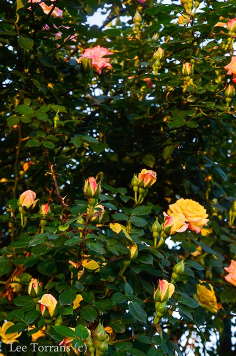 Multicolored Rose Climber Texas  Lee Ann Torrans Gardening