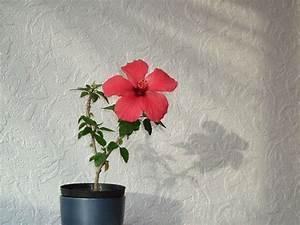 Rosen Im Topf Pflege : hibiskus pflanzen expertentipps f r standort vermehrung ~ Lizthompson.info Haus und Dekorationen
