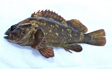 rockfish grass fish scorpionfishes crescent california species fishing pier scorpaenidae gilbert
