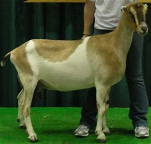 Breeds of Dairy Goats - LaMancha - Very high production of ...