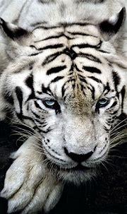 White Tiger Wildlife 4K Ultra HD Mobile Wallpaper