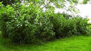 Schwarze Johannisbeere Pflanzen : johannisbeere video pflegehinweise g rtnertipps und weitere informationen zu johannisbeeren ~ Frokenaadalensverden.com Haus und Dekorationen
