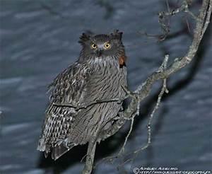 Blakiston's Fish-Owl