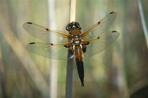 do dragonflies migrate looduskalender ee