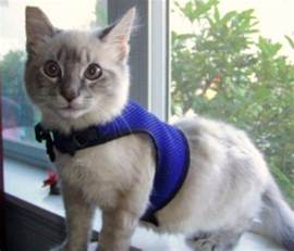 simply cat harness kitten cat harness leash kitten get free image about