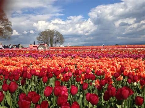 tulips festival in usa top 15 flower fields in the world world top top