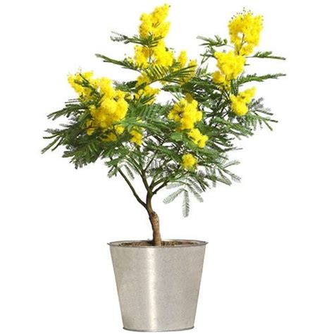 livraison de fleurs mimosa en pot livraison express