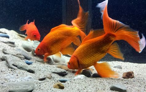 goldfish  substrate  aquarium club