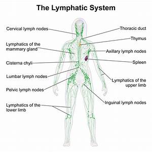 The gallery for --> Superficial Inguinal Lymph Nodes Cadaver