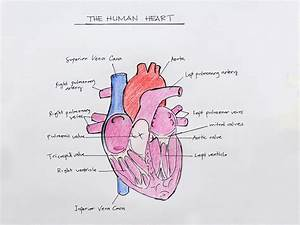 How to Draw the Internal Structure of the Heart (with ...