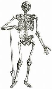 Webanatomy Skeletons And Skulls