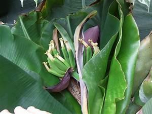 Ficus Benjamini Gelbe Blätter : bananen z chten in deutschland ein erfahrungsbericht ~ Watch28wear.com Haus und Dekorationen