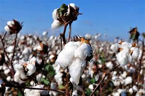 Cotton Field Wallpapers