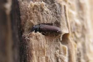 Insecte Qui Mange Le Bois : woodworm wikipedia ~ Farleysfitness.com Idées de Décoration