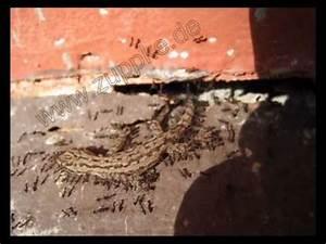 Ameisen In Der Wand : ameisen tragen einen gecko in deren bau ants moving a gecko into their nest youtube ~ Frokenaadalensverden.com Haus und Dekorationen