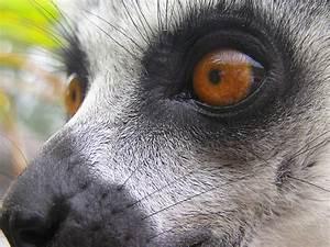 lemur eyes | Flickr - Photo Sharing!