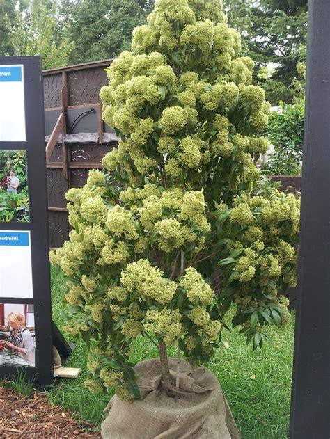 lemon myrtle tree smells amazing home garden