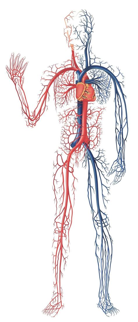 Best 25+ Circulatory System Ideas On Pinterest  Circulatory System For Kids, Heart Circulation