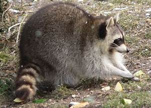 Picture 9 of 9 - Raccoon (Procyon Lotor) Pictures & Images ...