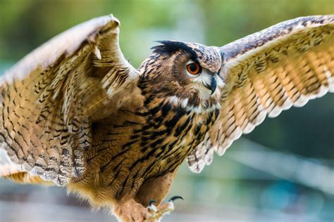 Eagle owl with outstretched wings free image