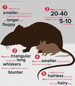 rats in attic insulation - get rid of rodents