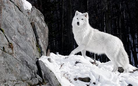 And Wolf Wallpaper Hd by Hd Wolf Wallpapers Wallpaper Cave