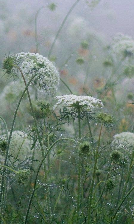 queen annes lace   rain  favorite wild flower