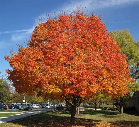 best maple trees for fall color acer saccharum sugar maple tree in fall colors newark c flickr