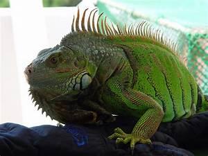 About Iguana | Iguana Guide | Iguana Tips: October 2010