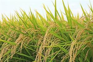 What Is The Common Name For Rice