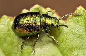 Green Iridescent Beetle | Iridescent | Pinterest